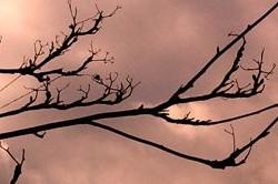 five threads of cotton on rowan tree